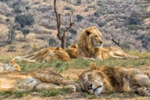 Im Kruger-Nationalpark unter den Big Five